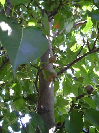 Bradford Pear Disease Pictures